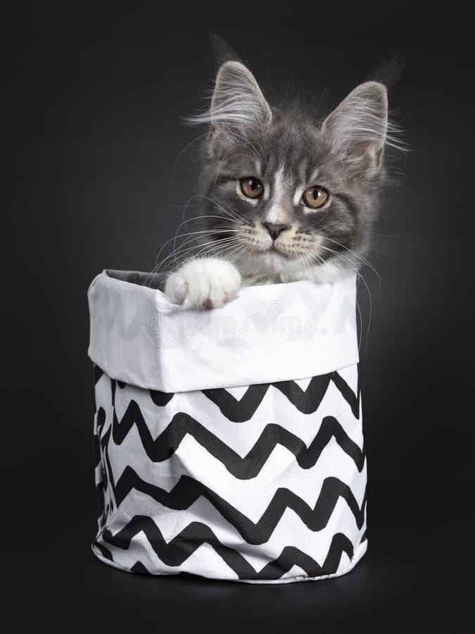 Bl?tt med den vita Maine Coon katten p? svart arkivbild