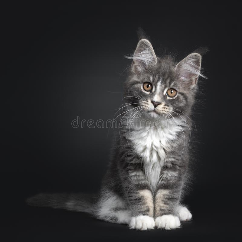 Bl?tt med den vita Maine Coon katten p? svart arkivfoton