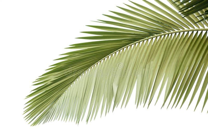 Bl?tter der Palme stockbild