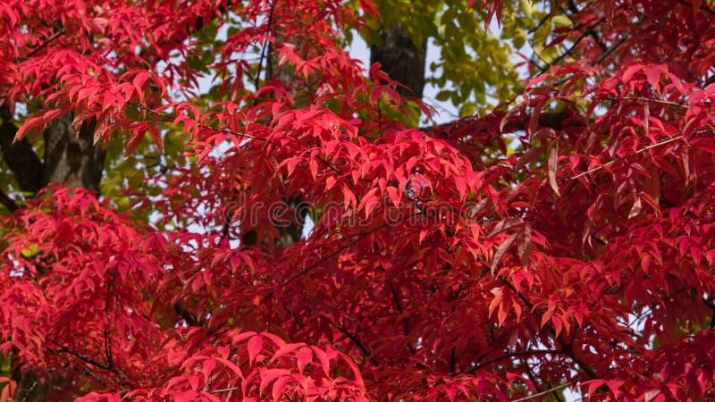 Bl?tter Mandschuahorn oder Acer-mandshuricum im Herbstsonnenlichthintergrund, selektiver Fokus, flacher DOF stockfoto