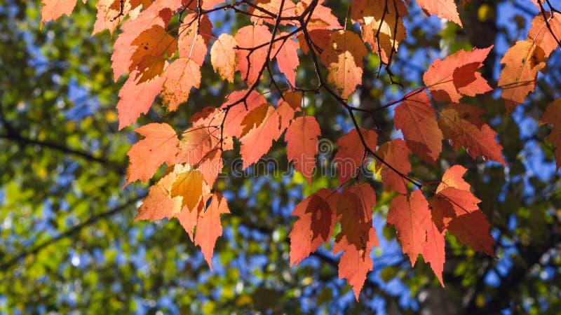 Bl?tter tatarischen Ahorn oder Acer-tataricum im Herbst gegen Sonnenlicht mit bokeh Hintergrund, selektiver Fokus, flacher DOF stockbilder