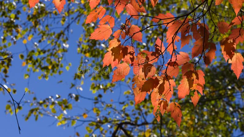 Bl?tter tatarischen Ahorn oder Acer-tataricum im Herbst gegen Sonnenlicht mit bokeh Hintergrund, selektiver Fokus, flacher DOF stockfotos