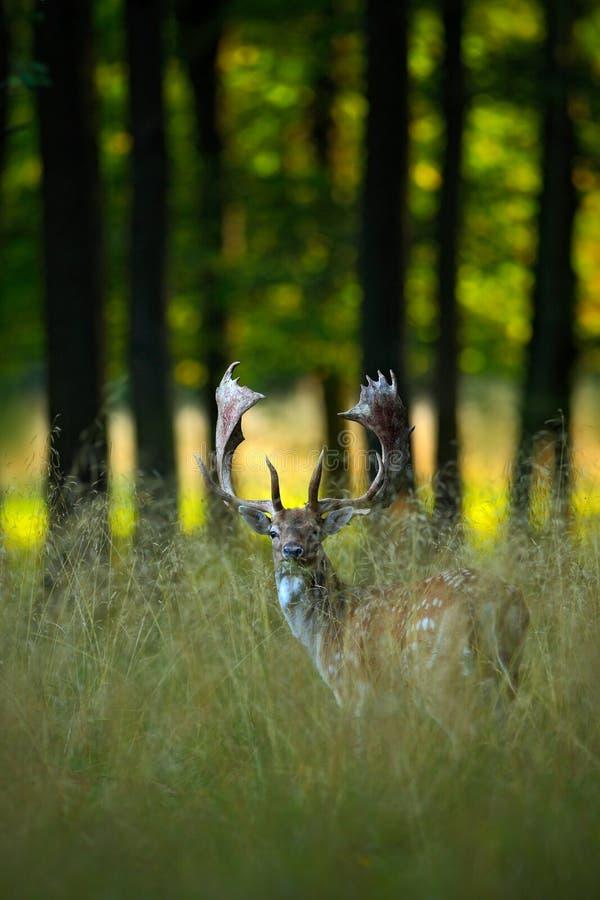 Blaasbalg majestueuze krachtige volwassen Damherten, Dama-dama, in de herfstbos, dier in het aarddier, bomen op de achtergrond, F stock foto's