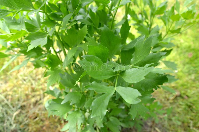Blaaszaad geneeskrachtige Levisticum officinale W D J Koch, vlucht met bladeren royalty-vrije stock afbeelding