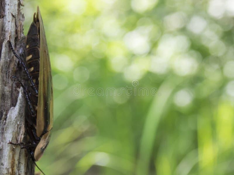 Blaberus de la cucaracha en el árbol imagen de archivo