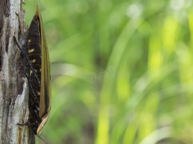 Blaberus della blatta sull'albero immagini stock