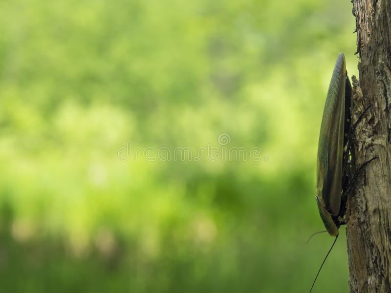 Blaberus della blatta sull'albero immagine stock libera da diritti