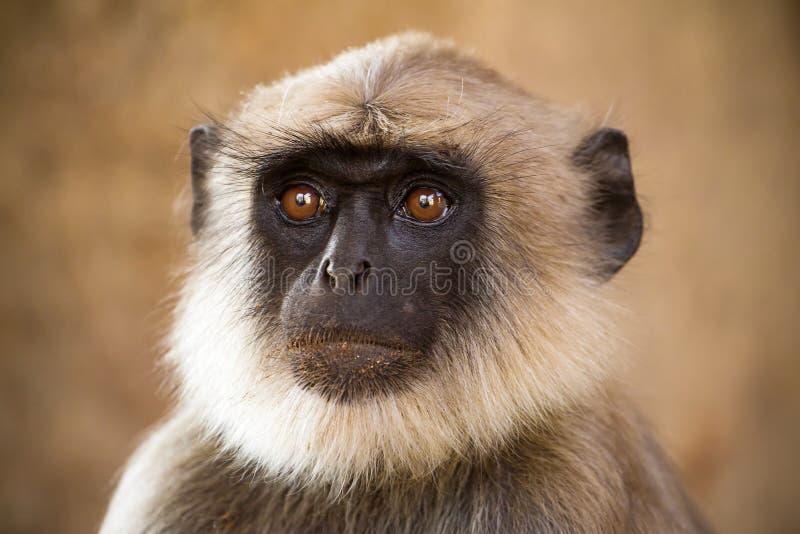 Blace ha affrontato la scimmia immagini stock