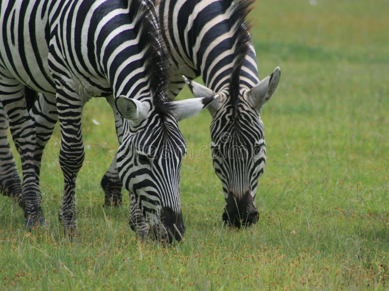 blach άσπρα zebres στοκ εικόνα με δικαίωμα ελεύθερης χρήσης