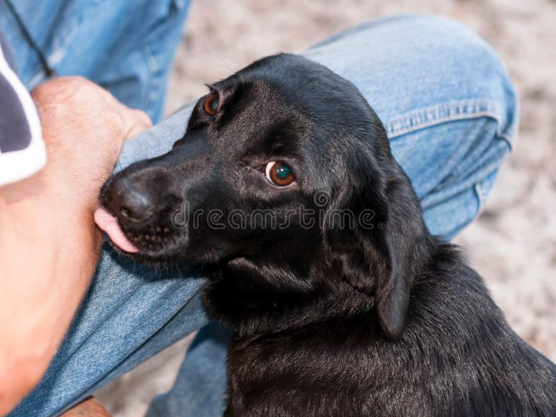 Black сute mongrel dog near man licking royalty free stock photography