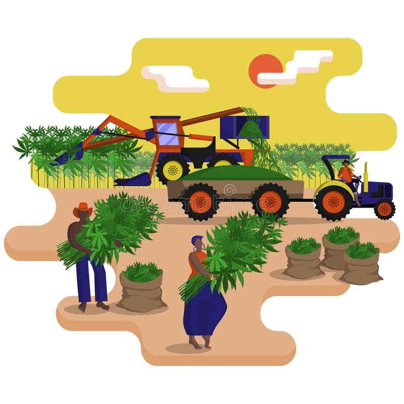 Black agricultural workers with combine are picking a technical hemp in the field. Black agricultural workers with combine, harvester are picking a technical stock illustration