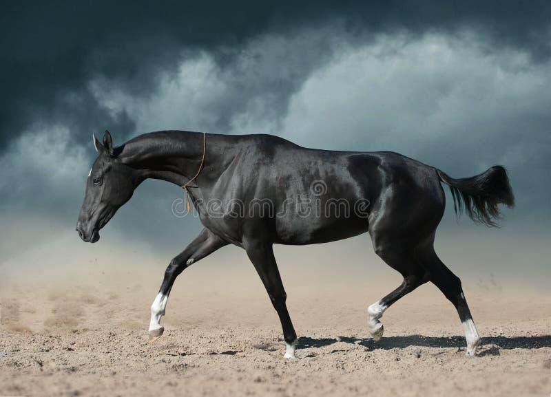 Black akhal-teke mare running through the desert royalty free stock photo