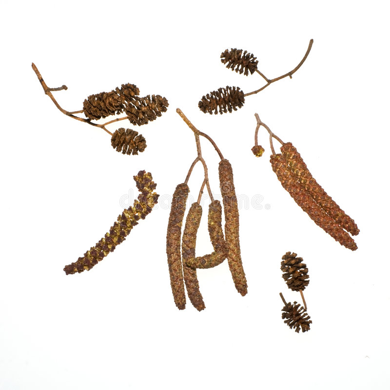 Black Alder. Cones and blooms of a black alder tree. White background lit from behind. RAW file is also without shadows stock photo