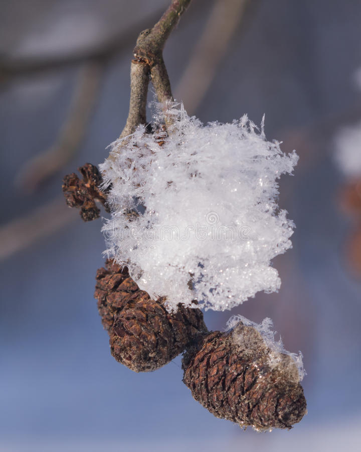 Black alder mature cones in snow closeup. With bokeh background, selective focus, shallow DOF stock photography