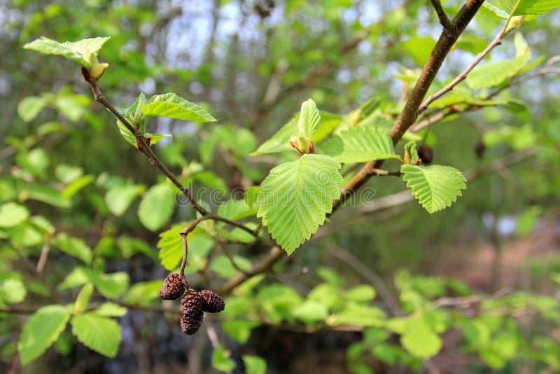 Black alder tree branch in spring season. European Alder, female inflorescences of the Black Alder - Alnus glutinosa stock photos