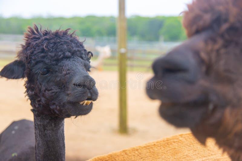 Black alpaca looking at brown alpaca royalty free stock photo