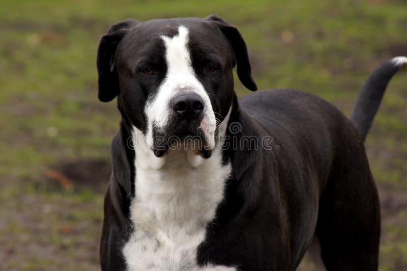 Black American Bulldog gazes into camera. In the Landscape stock images