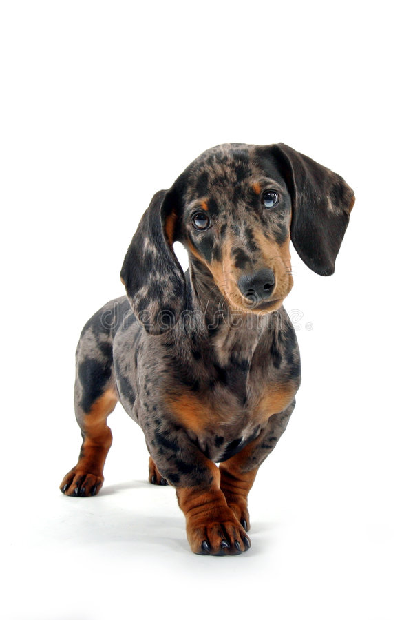 Free Black And Brown Dachshund Stock Photos - 2131503