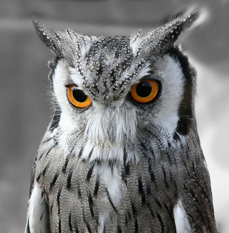 Free Black And White Owl Royalty Free Stock Image - 3192676