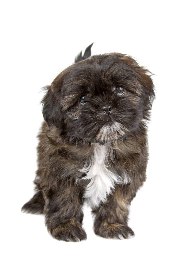 Free Black And White Shih Tzu Puppy Royalty Free Stock Photo - 14316455