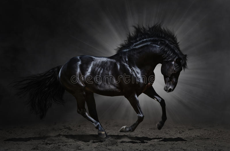 Black Andalusian stallion gallops royalty free stock photos