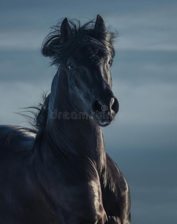Black Andalusian stallion - portrait in motion stock image