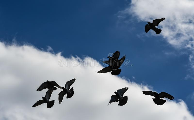 Black Angels in the Sky. Background of pigeons with wings and tails spread looking like angels silhouetted against a blue cloudy sky in south Florida royalty free stock photo