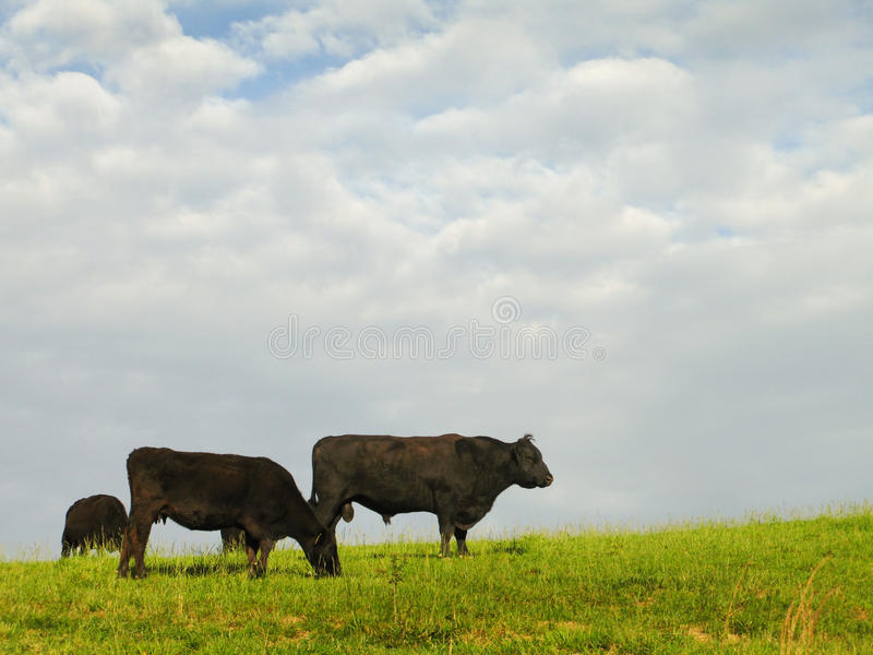 Black Angus Beef Cattle. Grazing on an open field stock photo