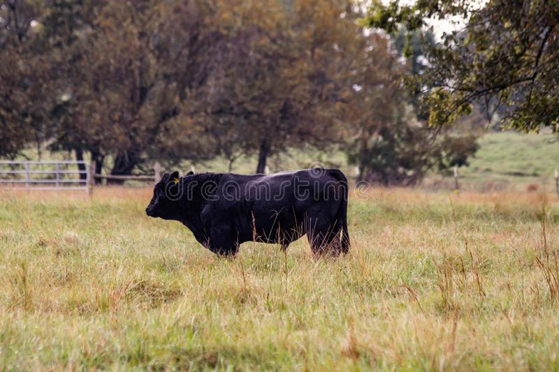Black Angus bull in autumn pasture royalty free stock image