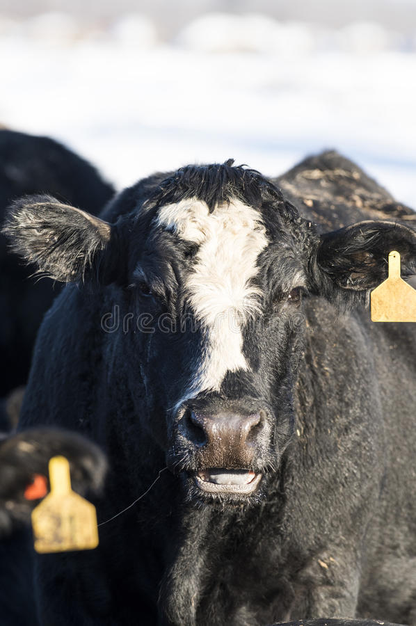 Black Angus Cattle. Black Angus beef cattle in a Minnesota Feed lot during the winter royalty free stock photos