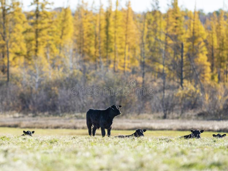 Black Angus cattle in a pasture in late autumn stock photography