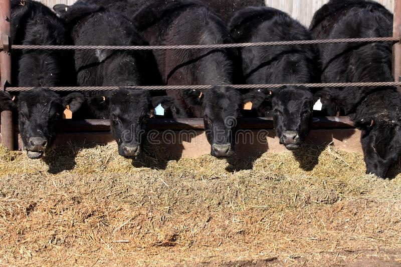 Cattle eating in a feedlot. Black angus cows feeding in a feedlot, where they are fattened, and sold royalty free stock photography