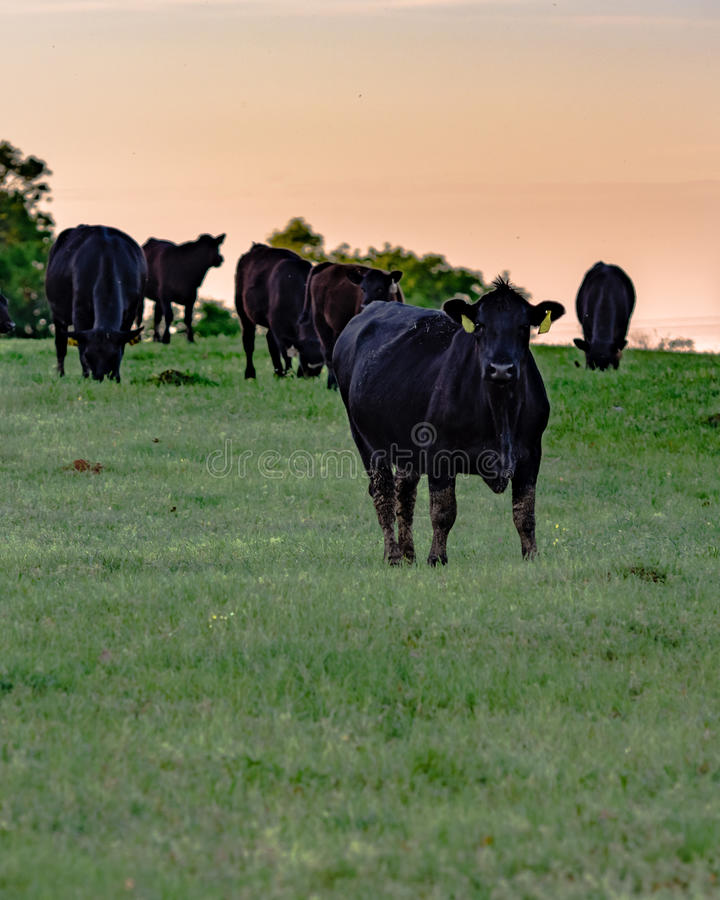 Black Angus cows in pasture at sunset - vertical. Black Angus cows in spring pasture at sunset in vertical format royalty free stock images