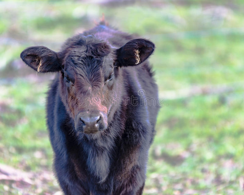Black Angus crossbred calf. With rough hair against a blurred background stock images