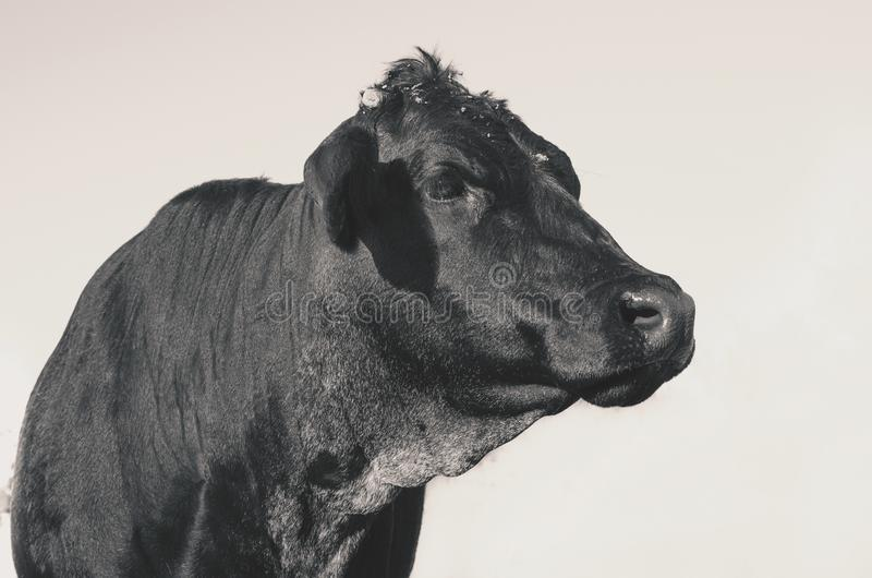 Black Angus heifer cow on farm for agriculture beef industry. Close up image of black angus cow on cattle farm for beef industry farm concept stock image