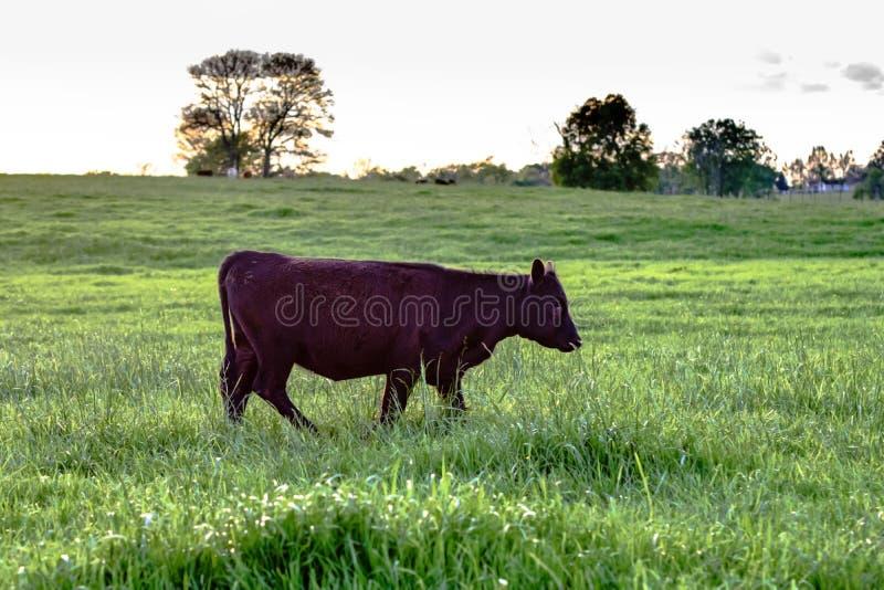 Black Angus heifer walking. Black Angus crossbred heifer walking across a green pasture stock photography