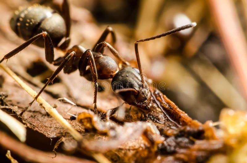 Download Black ant stock photo. Image of hard, beach, close, legs - 26200264