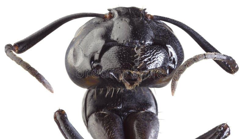Black Ant Cutout stock photo
