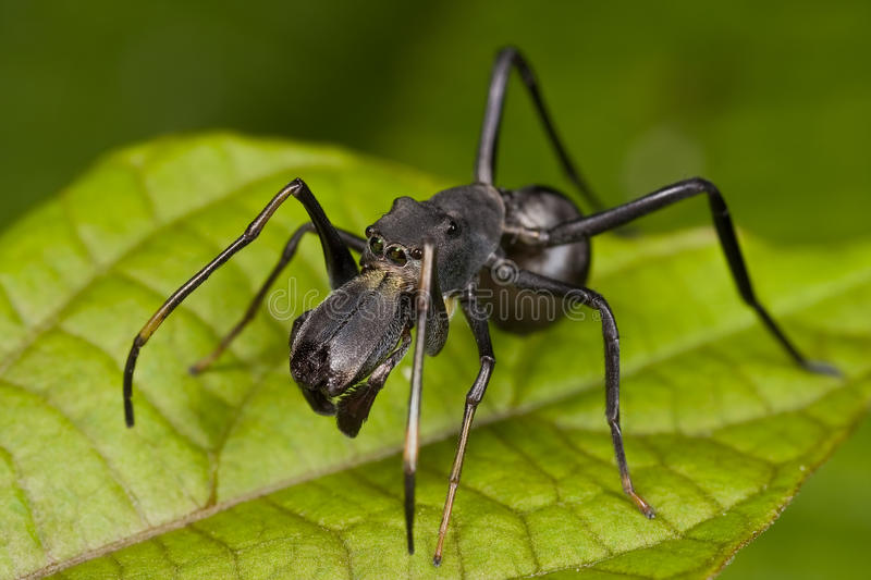 Black ant mimic jumping spider, Myrmarachne stock images