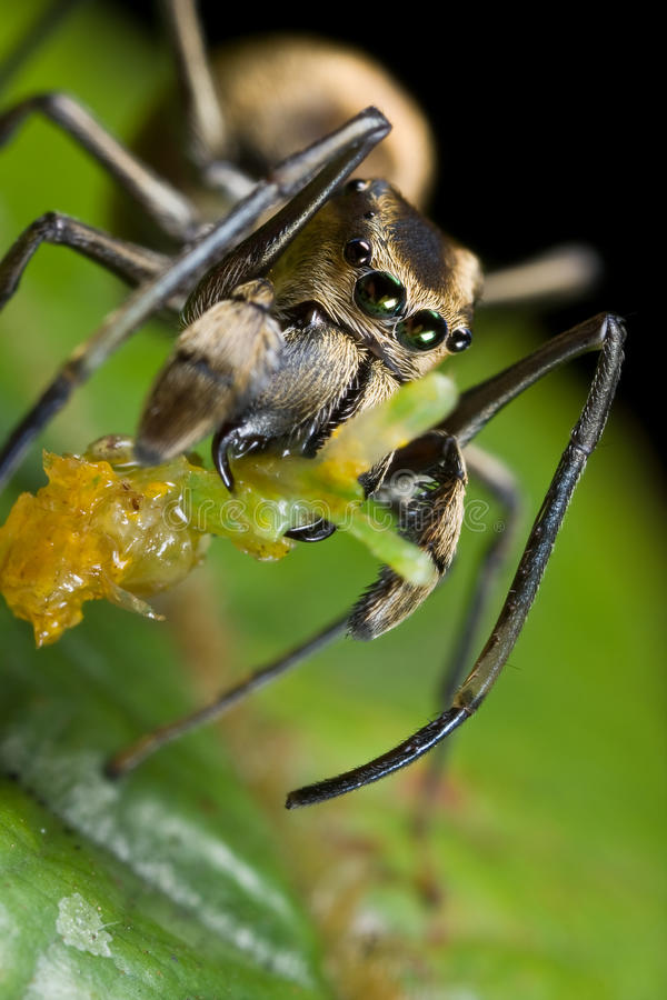 Black ant mimic jumping spider with prey stock photos