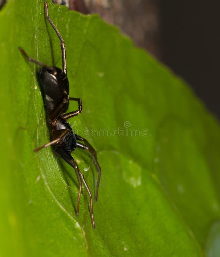 Black ant Mimic spider stock photo