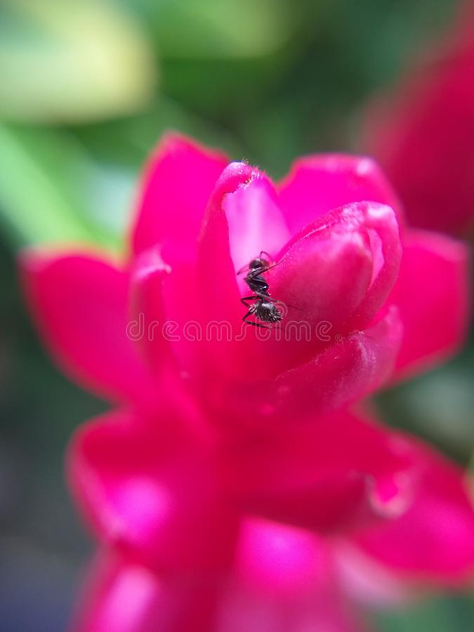 Black ant over red garden flower. The ant walks on the red flower like doing a recreational walk and descibriendola, is something different from the expected of stock photo