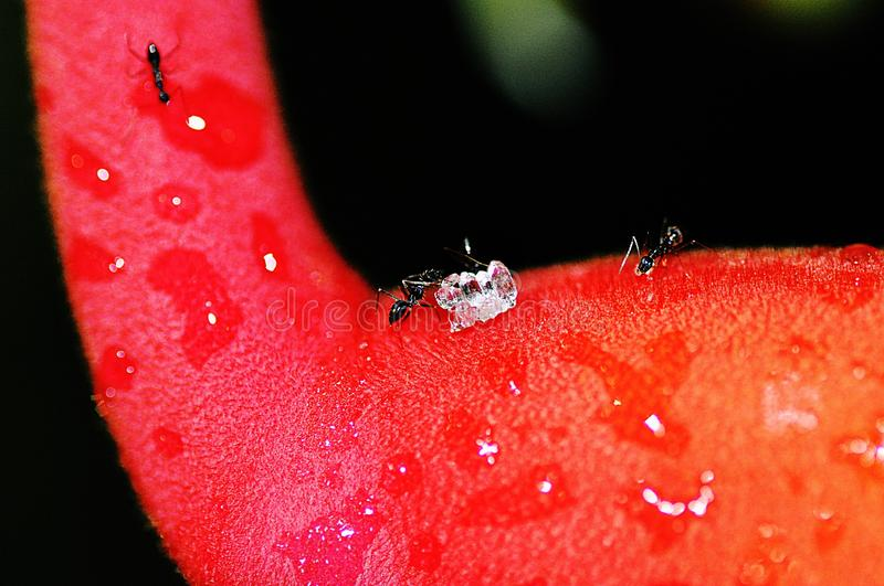 Black ant is pushing a sugar cube on Heliconia Rostrata. Tamron macro Len. nAnt pushing a sugar cube on a heliconia flower after rain.nn stock photos