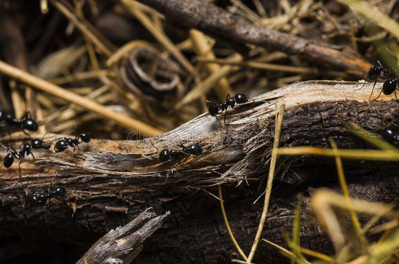 Black Ants on Brown Tree Trunks royalty free stock photography