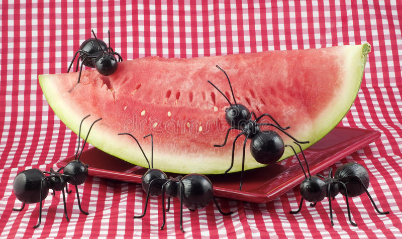 Black Ants Eating Watermelon royalty free stock photography