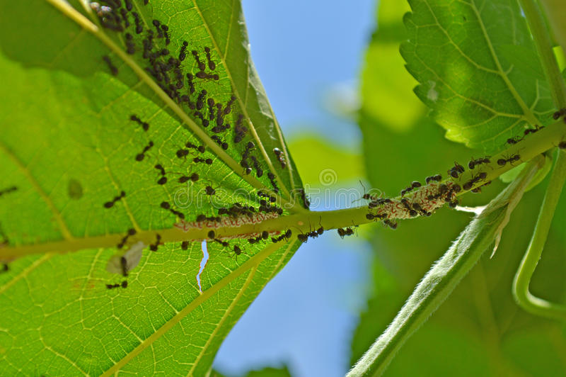 Black ants stock images