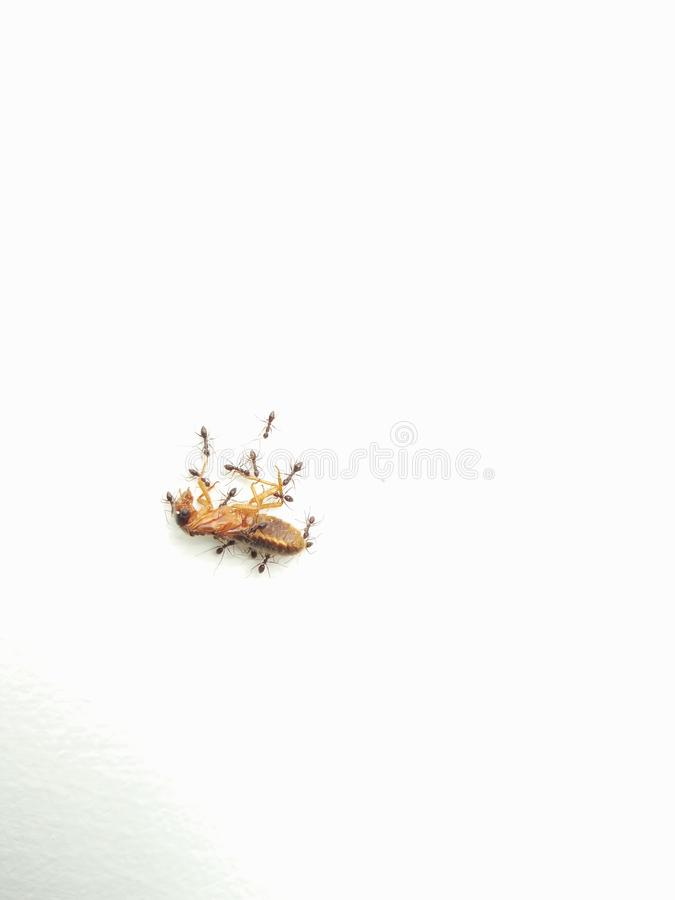 Black ants taking away a bugs body to their anthill. Black ants taking away an bugs body to their anthill royalty free stock photo