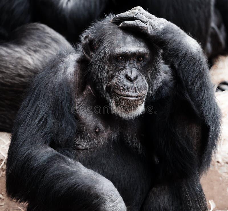 Black Ape Free Public Domain Cc0 Image