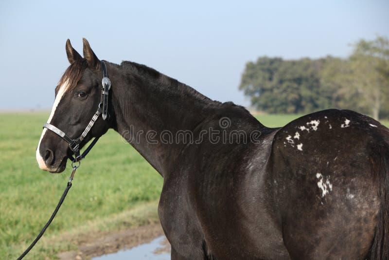 Black appaloosa mare with western halter