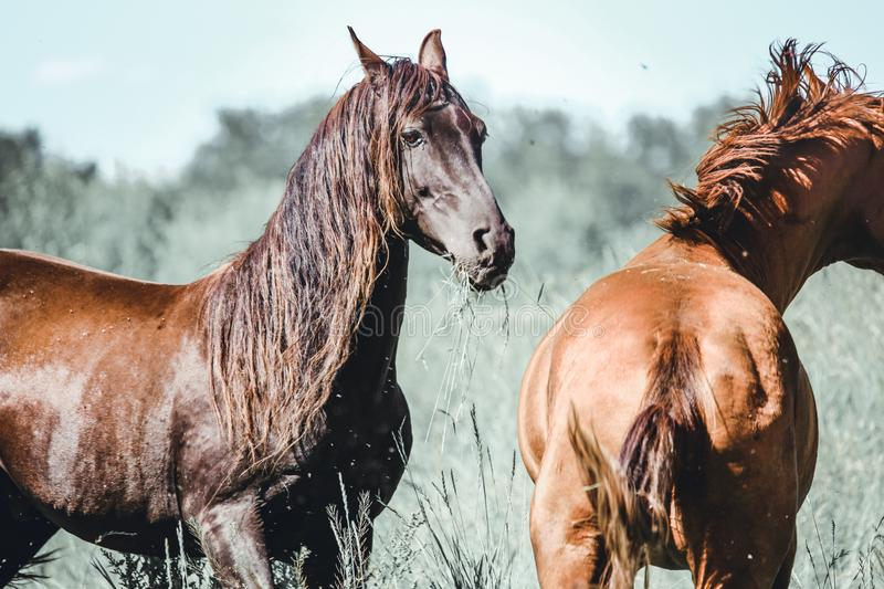 A black arab stallion and a chestnut stallion in a fiels; beautiful flowing manes.  royalty free stock photos